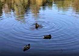 2016 11 13 Mein Wedel Klövensteen Wildpark Enten auf dem Rüdigerteich im Wildgehege Klövensteen